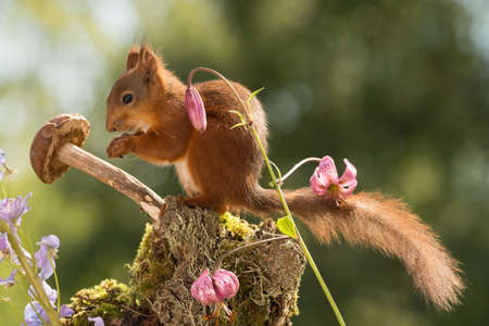 red squirrel  standing with a mushroom