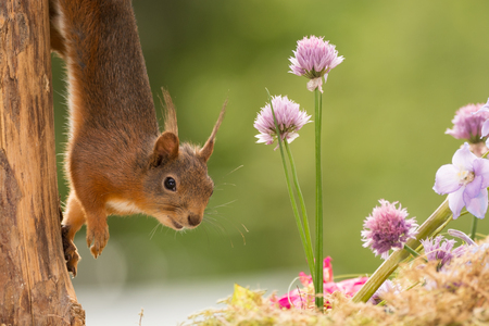 red squirrel standing with flowers  in sunlight looking and walking down