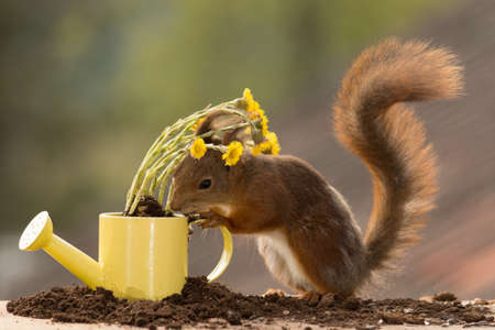 moulder: red squirrel standing with water can with flowers Stock Photo