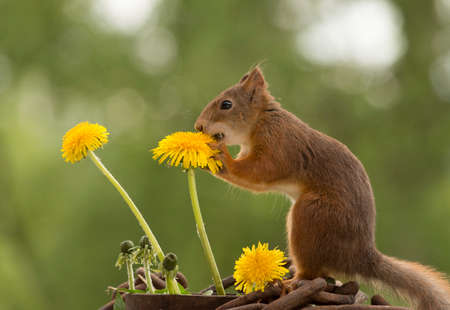 close up of  red squirrel  touching a dandelion flower