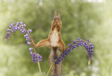 beine spreizen: red squirrel standing between 2 lupine flowers with spread legs  looking at the camera