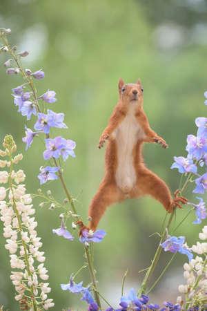 Red squirrel between Delphinium a perennial flower in split Stock Photo