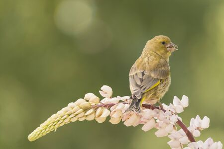 close up of a greenfinch standing on a lupine  flower