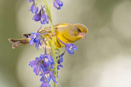 close up of a greenfinch standing on a blue purple flower