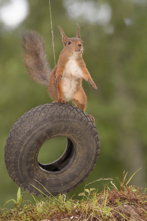 red squirrel is standing on a tyre