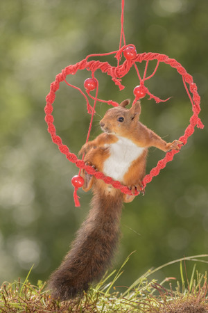 red squirrel sitting in a heart in the air