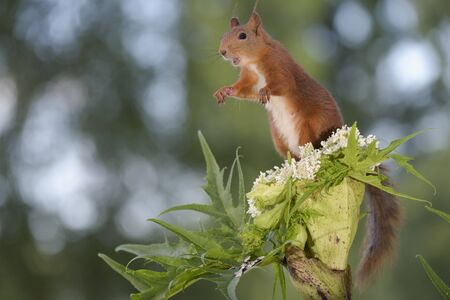 red squirrel standing on Giant Hogweed