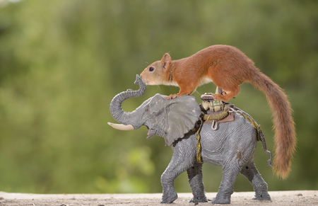 red squirrel on an elephant