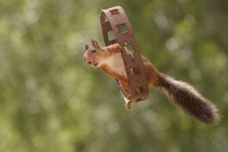 red squirrel is sitting in a iron circle in the air with open mouth