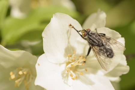 close up of fly on a jasmine flower