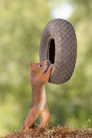 red squirrel is holding a tyre Stock Photo