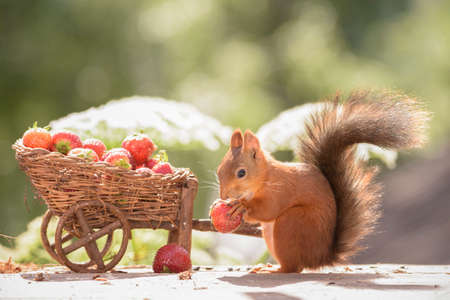 red squirrel with wheelbarrow loaded eating a strawberry Stock Photo