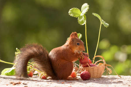 red squirrel with basket loaded with strawberries