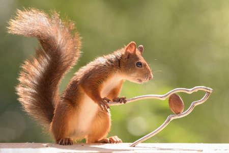 red squirrel is holding a nutcracker with  a nut Stock Photo