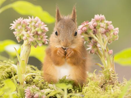 red squirrel is standing  between flowers looking at the viewer