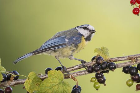 blue tit is standing on a branch with black currant Stock Photo
