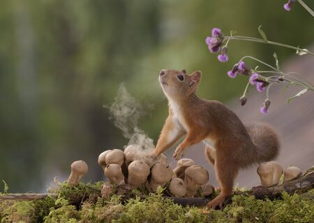 Red squirrel is touching a Puffball Mushroom which produces smoke