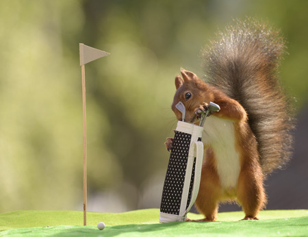 red squirrel taking out Golf Clubs from a golf bag Stock Photo