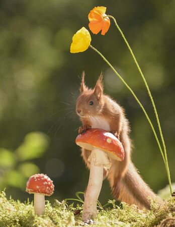 young red squirrel climbs on a mushroom
