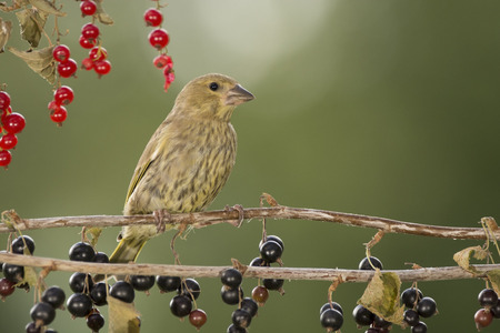 greenfinch is standing on black currant branches