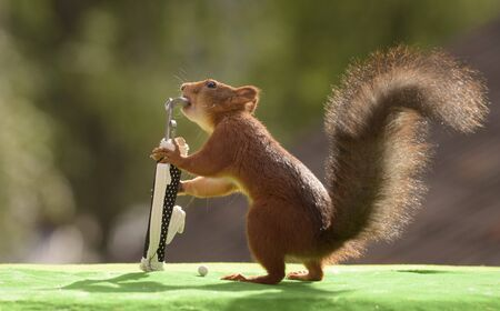red squirrel taking out a Golf Club from a golf bag