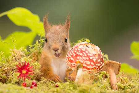young red squirrel with  a mushroom and open mouth Stock Photo