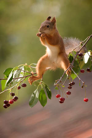 red squirrel is sitting on branch with cherries Stock Photo