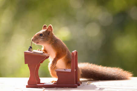 red squirrel standing with a school bank Stock Photo