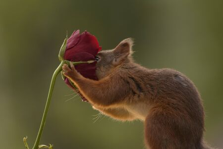 red squirrel with his nose in a red rose