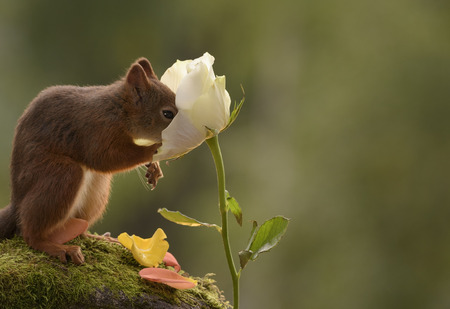 red squirrel with his nose in a white rose