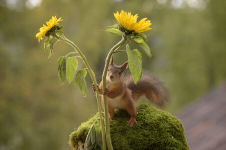 red squirrel is holding two sunflowers