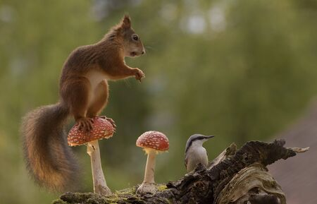 profile of red squirrel on a mushroom nuthatch beneath