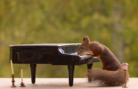 red squirrel standing behind a piano Stock Photo