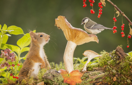 red squirrel and a great tit on a mushroom