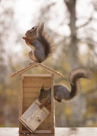 two red squirrels with a door building a toilet