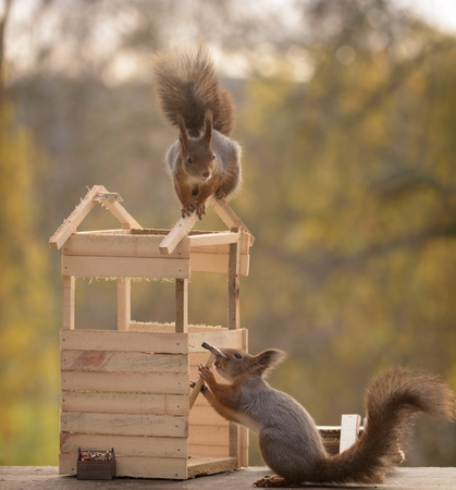 two red squirrels with a hammer building a toilet Stock Photo