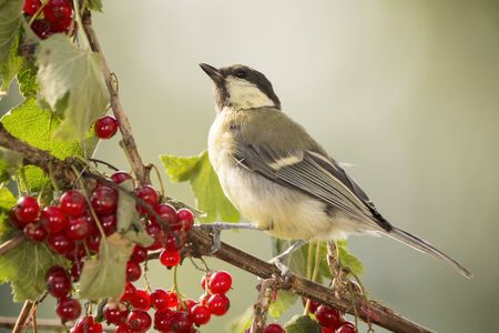 great tit is standing on red currant branch