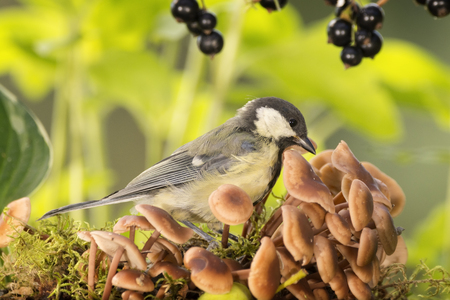great tit stands with mushrooms and black currant Stock Photo