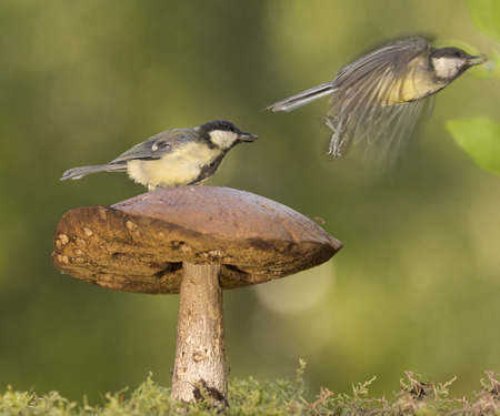 two titmouse with a big mushroom