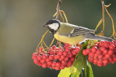 titmouse standing on a rowanberry branch