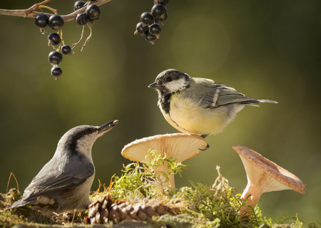nuthatch and great tit are standing with mushrooms
