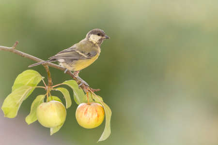 great tit standing on a apple branch Stock Photo