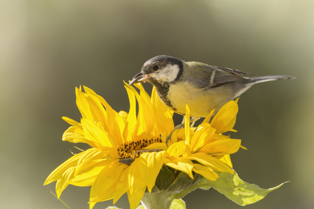 great tit is standing on a sunflower
