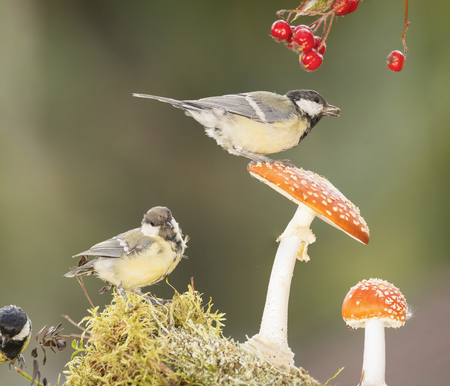great tit is standing on and one under a mushroom