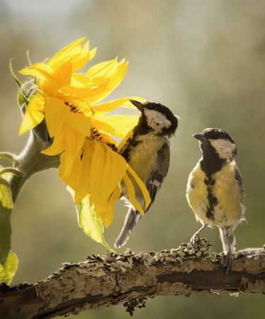 two great tit in a sunflower Stock Photo