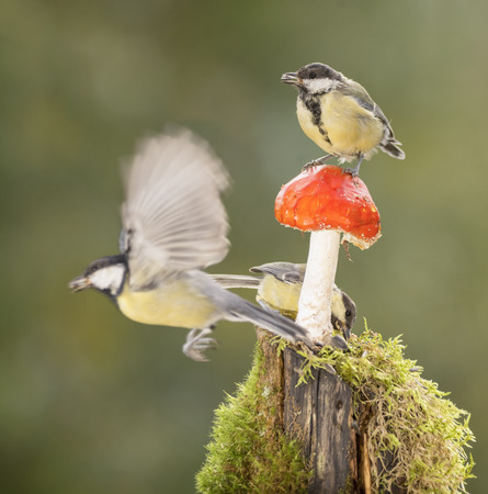 great tit is standing on a mushroom another in flied