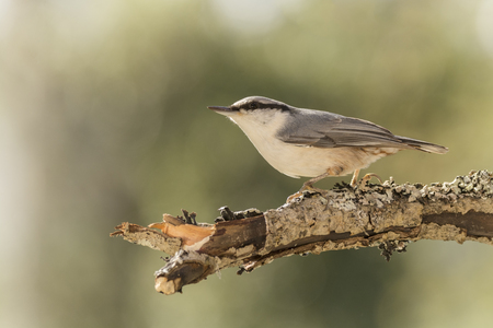 nuthatch is standing on a branch