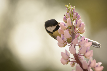 great tit is hanging on a lupine