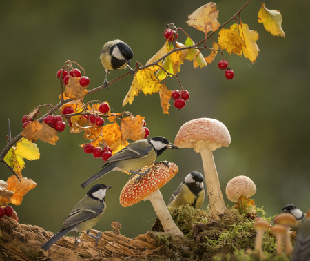 couple of great tit are standing on mushrooms