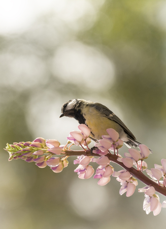 great tit is standing on lupine